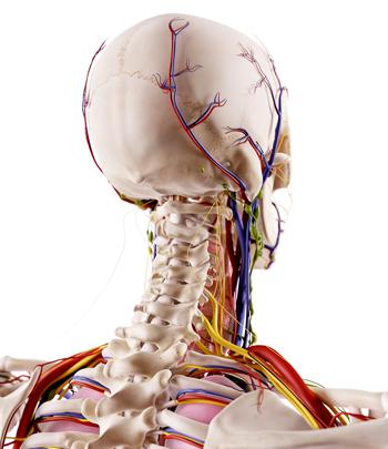 image of skeleton focused on cervical spine